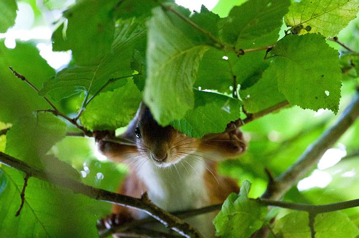 Red-squirrels-on-Brownsea-001.jpg