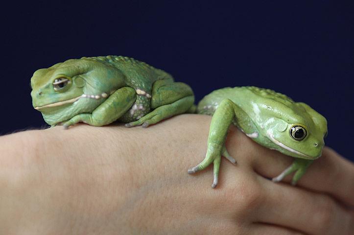 Waxy-Tree-Frogs-rest-on-a-002.jpg