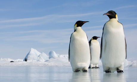 Antarctic penguins forced up 100-foot ice walls, study shows