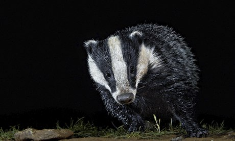 Look, a badger – kill it!