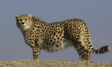 Cheetah dejtingsajt