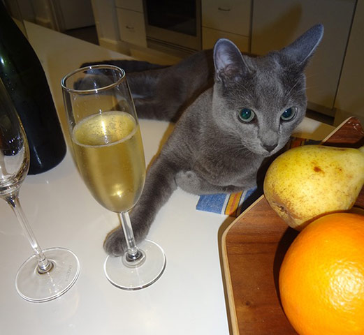 cat-drinking-champagne-001.jpg