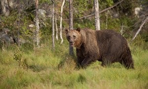 Man, 80, fights bear, falls off cliff – and survives