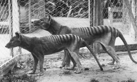 Zoologists hunting Tasmanian tiger declare 'no doubt' species still alive