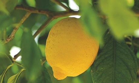 Alys Fowler: lemon trees