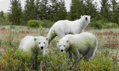Polar bear attacks: scientists warn of fresh dangers in warming Arctic