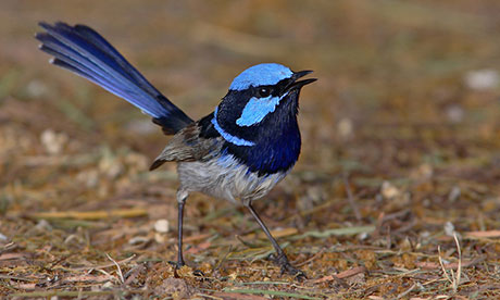 It's official, the superb fairy-wren is our favourite bird
