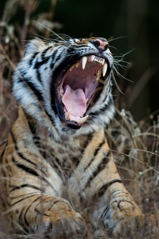 Can you catch a yawn off a wild animal?