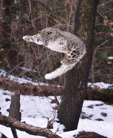 A Snow leopard leaps up the Bronx Zoo, New York.