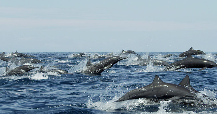 Dolphin megapod seen for the first time – in pictures