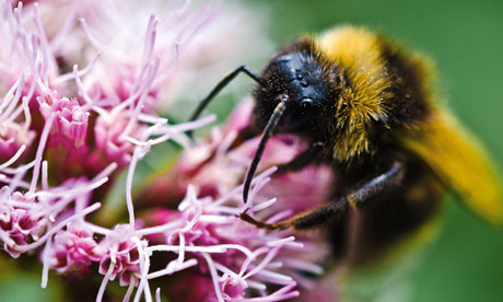 Imported bumblebees pose risk to UK's wild and honeybee population