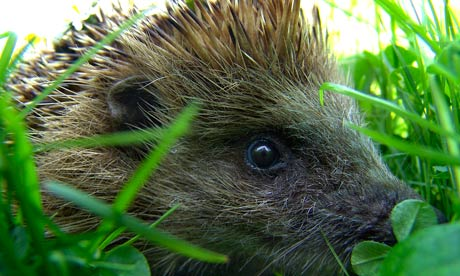 Hedgehogs are disappearing fast – gardeners to the rescue
