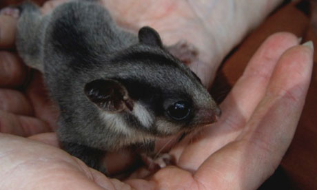 Leadbeater's possum.