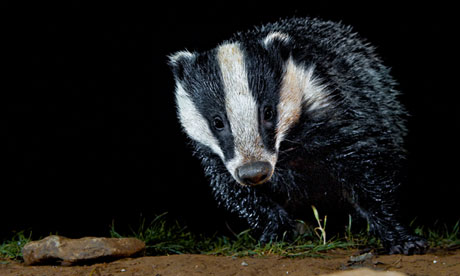 Culls risk illegally exterminating badgers, animal expert warns