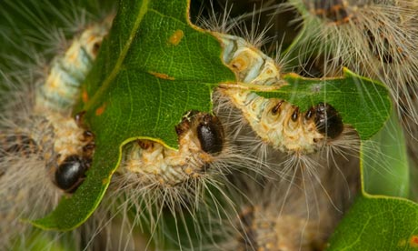 Pest caterpillars face helicopter blitz with insecticide