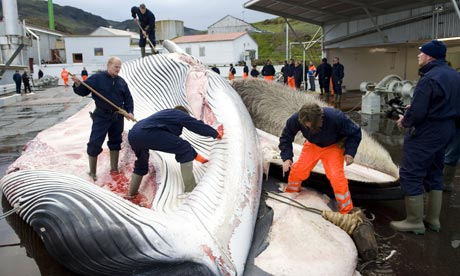 Iceland's fin whales are endangered. Stop this bloody cull