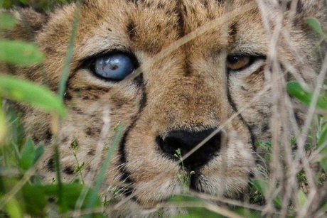 Blind, starving cheetahs: the new symbol of climate change?