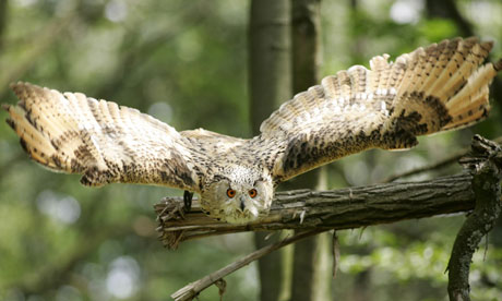 Specieswatch: European eagle owl