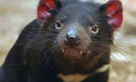 Tasmania hopes foreign zoo breeding program will help save devils