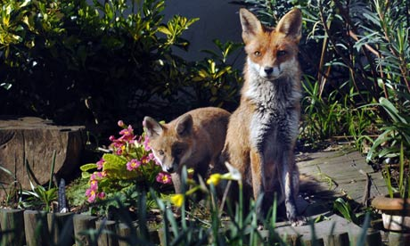 How can I get rid of foxes?   Life and style   The Guardian