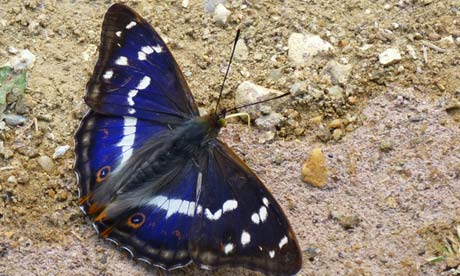 Butterfly obsessives go on the trail of the elusive purple emperor