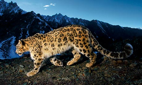 Quest to save the snow leopard