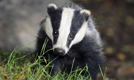 Gassing of badgers considered in plan to eradicate TB in cattle