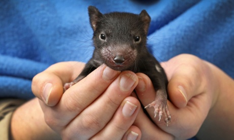 Tasmanian devils to be released back on to mainland