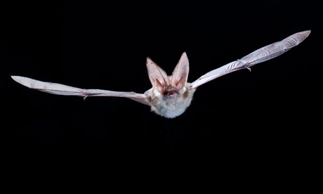 Britain's grey long-eared bats may die out without help, conservationists warn