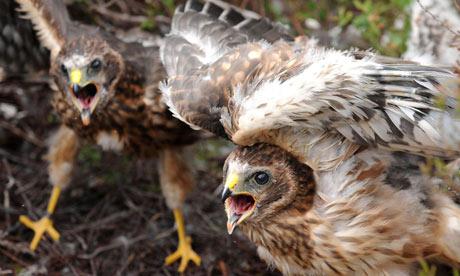 Hen harrier close to extinction in England