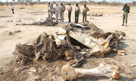Zimbabwe poachers kill 80 elephants, poisoning water holes with cyanide