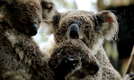 Koalas face 'huge' fall in numbers as climate change bites, study warns