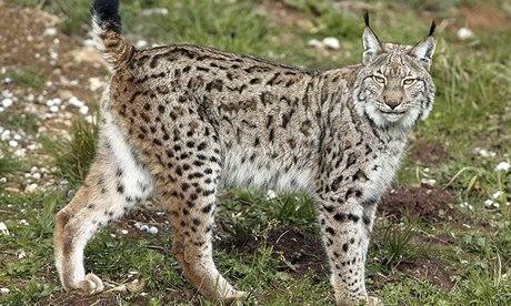 How Spain saved the lynx