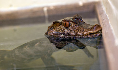 A confiscated dwarf crocodile at the Animal Reception Centre, Heathrow.<br />