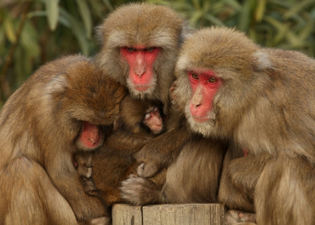 Brass monkeys: Japanese macaques chill out in hot springs – in pictures