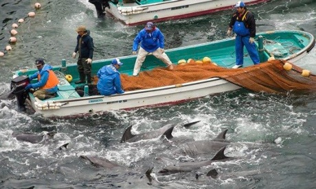Japanese fishermen begin annual slaughter of hundreds of dolphins