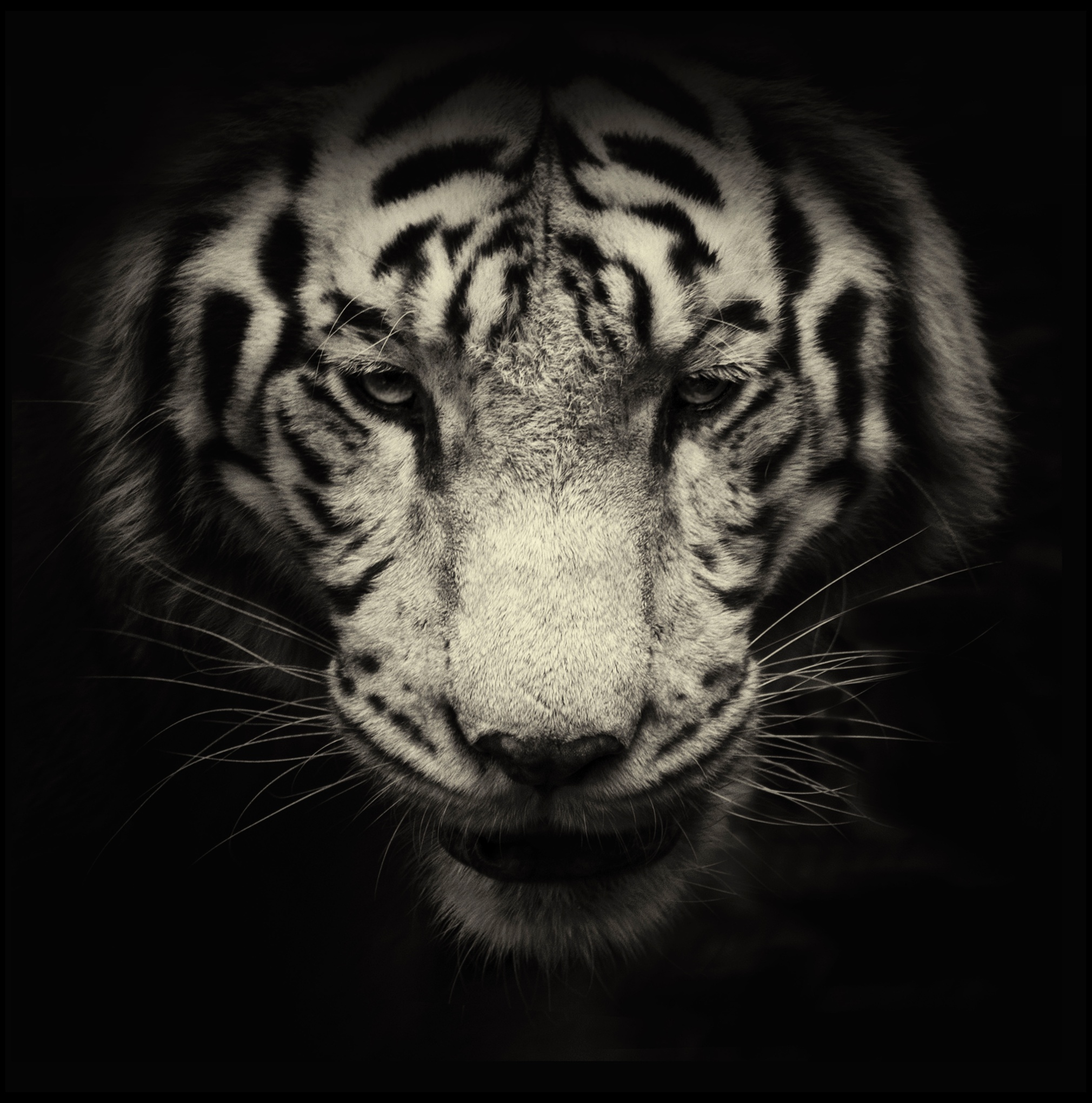 animals tiger zoo portraits animal dark side darkness moody sinister captive pose sides teuscher photographs alex tigers creatures photographer golden