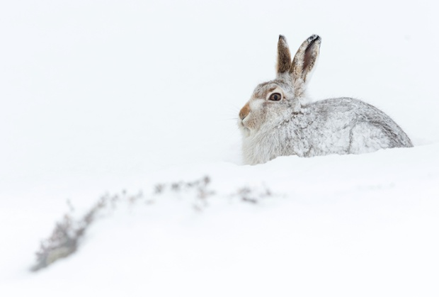 Hares in the Cairngorms – in pictures