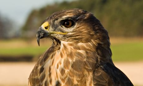 Record £26,000 reward for conviction as raptor deaths in Highlands rise to 19
