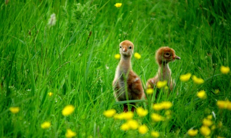 Crane chicks born in Gloucestershire