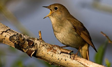 Nightingale has best birdsong because of its complex brain, research finds
