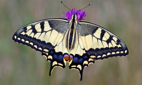 Continental swallowtail breeding in UK for first time