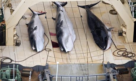Japan kills 30 minke whales in first hunt since UN court order