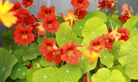 Vertical veg man edible flowers: nasturtiums