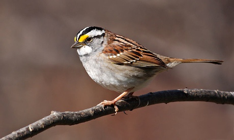 White-morph white-throated sparrow, Zonotrichia albicollis