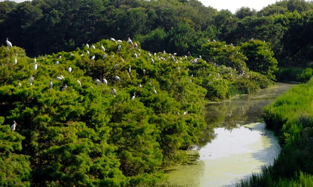 Hundreds of adult wood storks gather on the tops of trees at the the Harris Neck National Wildlife Refuge during a tour by U.S. Interior Secretary Sally Jewell in Townsend, Ga., Thursday, June 26, 2014. Jewell announced Thursday that the federal government is upgrading the wood stork to a