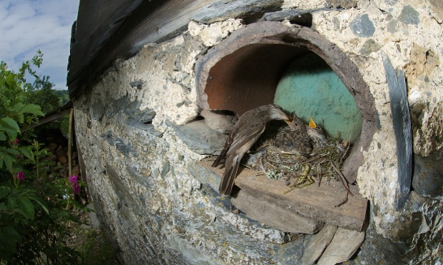 Spotted flycatcher feeding young at it's nest built into the wall of a stone built stable, near Corwen, North Wales
