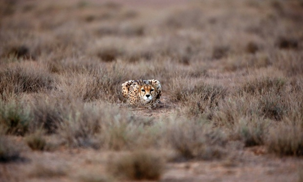 In this Monday, May 26, 2014 photo, 7-year-old male Asiatic Cheetah, named 'Koushki,' crouches at the Miandasht Wildlife Refuge in Jajarm, northeastern Iran. Iran is conducting a campaign to rescue the Asiatic Cheetah which has disappeared across south and central asia except fewer than 100 remaining in Iran.