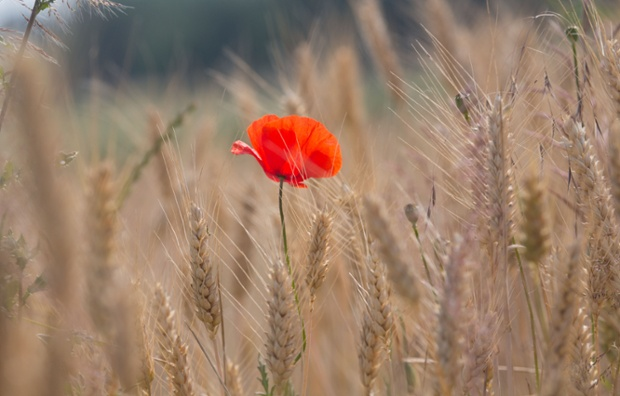 Red poppy is pictured in a meadow near Frankfurt/, Germany,  Sunday June 22, 2014. Weather forecasts predict changeable weather.
