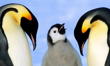 Emperor penguins at risk of extinction, scientists warn